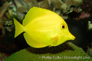 Yellow tang., Zebrasoma flavescens, natural history stock photograph, photo id 08664