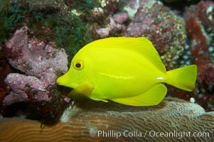 Yellow tang., Zebrasoma flavescens, natural history stock photograph, photo id 11849