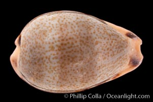 Yellow-toothed Cowrie, Cypraea xanthodon