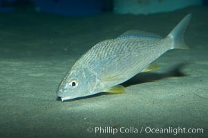 Yellowfin croaker, Umbrina roncador