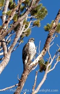 Unidentified raptor bird perched in a pine tree, High Sierra near Tioga Pass, Yosemite National Park, California