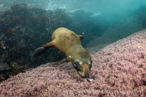 Young California Sea Lion Discovers a Seashell, Coronado Islands, Baja California, Mexico, Zalophus californianus, Coronado Islands (Islas Coronado)