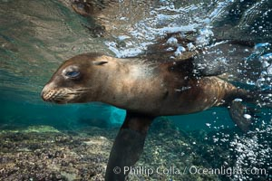 Young California sea lion pup underwater, Sea of Cortez, Zalophus californianus