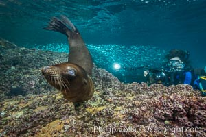 Young California sea lion pup underwater, Sea of Cortez. Sea of Cortez, Baja California, Mexico, Zalophus californianus, natural history stock photograph, photo id 31238