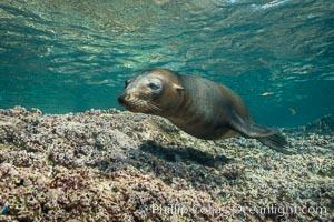 Young California sea lion pup underwater, Sea of Cortez, Zalophus californianus