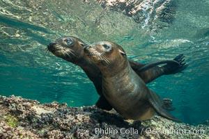 Young California sea lion pups underwater, Sea of Cortez, Mexico. Baja California, Zalophus californianus, natural history stock photograph, photo id 31209