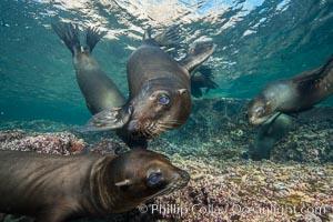 Image 31237, Young California sea lion pups underwater, Sea of Cortez, Mexico. Baja California, Zalophus californianus, Phillip Colla, all rights reserved worldwide.   Keywords: animal:animalia:baja california:california sea lion:californianus:caniformia:carnivora:carnivore:chordata:creature:eared seal:islas los islotes:la paz:lobo marino:los islotes:mammal:mammalia:marine:marine mammal:mexico:nature:ocean:otarid:otariid:otariidae:pacific ocean:pinniped:pinnipedia:sea:sea dog:sea lion:sea of cortez:sealion:underwater:vertebrata:vertebrate:wildlife:zalophus:zalophus californianus.