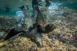 Young California sea lion pups underwater, Sea of Cortez, Mexico, Zalophus californianus