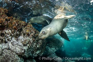 Portrait of a young California sea lion underwater, Coronados Islands, Baja California, Mexico, Coronado Islands (Islas Coronado)