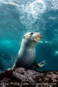 Portrait of a young California sea lion underwater, Coronados Islands, Baja California, Mexico, Zalophus californianus, Coronado Islands (Islas Coronado)