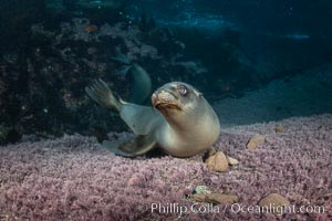 California sea lion playing with rocks underwater, Coronados Islands, Baja California, Mexico, Coronado Islands (Islas Coronado)