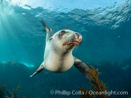 Portrait of a young California sea lion underwater, Coronados Islands, Baja California, Mexico, Coronado Islands (Islas Coronado)