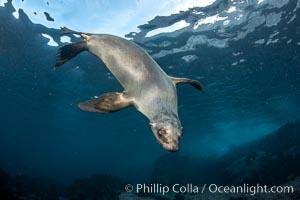 Portrait of a young California sea lion underwater, Coronados Islands, Baja California, Mexico, Zalophus californianus, Coronado Islands (Islas Coronado)