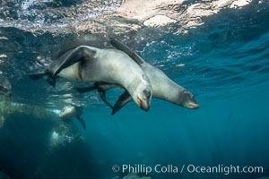 Young California sea lions playing underwater, Coronados Islands, Baja California, Mexico, Coronado Islands (Islas Coronado)