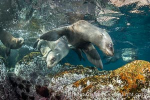 Young California sea lions playing underwater, Coronados Islands, Baja California, Mexico, Zalophus californianus, Coronado Islands (Islas Coronado)