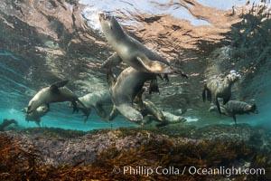 Young California sea lions playing underwater, Coronados Islands, Baja California, Mexico, Zalophus californianus, Coronado Islands (Islas Coronado)