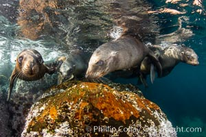 Young California sea lions playing underwater, Coronados Islands, Baja California, Mexico. Coronado Islands (Islas Coronado), Zalophus californianus, natural history stock photograph, photo id 35893