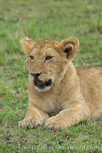 Young lion, Maasai Mara National Reserve, Kenya, Panthera leo