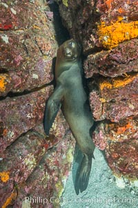 Young sea lion hides in an underwater crevice, Zalophus californianus, Sea of Cortez