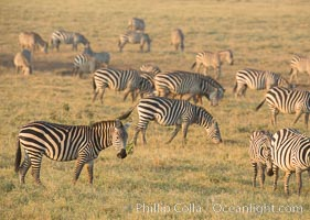 Zebra, Amboseli National Park, Kenya. Amboseli National Park, Kenya, Equus quagga, natural history stock photograph, photo id 29596