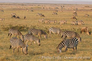 Zebra, Amboseli National Park, Kenya., natural history stock photograph, photo id 29598