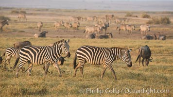Zebra, Amboseli National Park, Kenya. Amboseli National Park, Kenya, Equus quagga, natural history stock photograph, photo id 29599