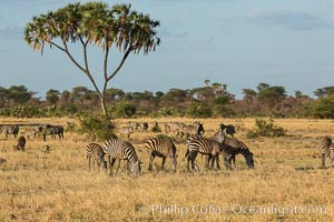 Zebra, Meru National Park, Kenya. Meru National Park, Kenya, Equus quagga, natural history stock photograph, photo id 29629
