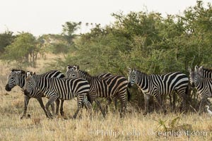 Zebra, Meru National Park, Kenya. Meru National Park, Kenya, Equus quagga, natural history stock photograph, photo id 29631