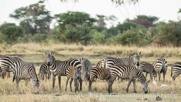 Zebra, Meru National Park, Kenya. Meru National Park, Kenya, Equus quagga, natural history stock photograph, photo id 29633