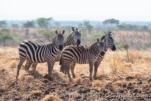 Zebra, Meru National Park, Kenya. Meru National Park, Kenya, Equus quagga, natural history stock photograph, photo id 29718