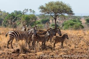 Zebra, Meru National Park, Kenya, Equus quagga