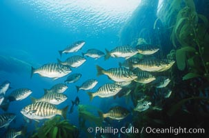 Zebra perch amid kelp forest, Islas San Benito, Hermosilla azurea, Macrocystis pyrifera, San Benito Islands (Islas San Benito)
