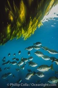 Zebra perch amid kelp forest. San Benito Islands (Islas San Benito), Baja California, Mexico, Hermosilla azurea, Macrocystis pyrifera, natural history stock photograph, photo id 06194
