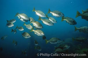 Zebra perch. San Benito Islands (Islas San Benito), Baja California, Mexico, Hermosilla azurea, natural history stock photograph, photo id 06199