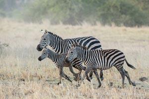 Zebra running, Meru National Park, Kenya, Equus quagga