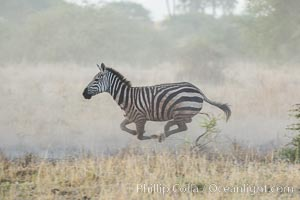 Zebra running, Meru National Park, Kenya. Meru National Park, Kenya, Equus quagga, natural history stock photograph, photo id 29636