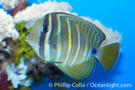 Image 07794, Sailfin tang., Zebrasoma veliferum, Phillip Colla, all rights reserved worldwide. Keywords: animal, fish, indo-pacific, marine fish, sailfin tang, tang, underwater, zebrasoma veliferum.