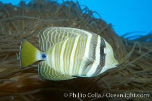 Sailfin tang, Zebrasoma veliferum