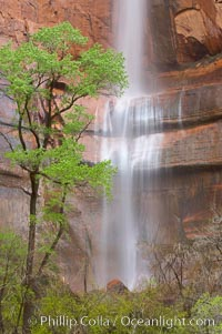 Waterfall at Temple of Sinawava during peak flow following spring rainstorm.  Zion Canyon. Temple of Sinawava, Zion National Park, Utah, USA, natural history stock photograph, photo id 12452