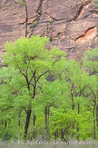 Image 12500, Cottonwoods with their deep green spring foliage contrast with the rich red Navaho sandstone cliffs of Zion Canyon. Zion National Park, Utah, USA, Phillip Colla, all rights reserved worldwide. Keywords: environment, landscape, national parks, nature, outdoors, outside, scene, scenery, scenic, usa, utah, zion, zion national park, zion park.