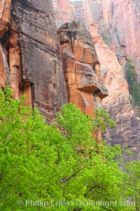 Cottonwoods with their deep green spring foliage contrast with the rich red Navaho sandstone cliffs of Zion Canyon. Zion National Park, Utah, USA, natural history stock photograph, photo id 12504