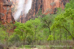 Cottonwoods with their deep green spring foliage contrast with the rich red Navaho sandstone cliffs of Zion Canyon. Zion National Park, Utah, USA, natural history stock photograph, photo id 12508