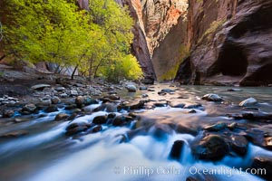 Yellow cottonwood trees in autumn, fall colors in the Virgin River Narrows in Zion National Park