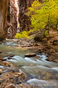 Yellow cottonwood trees in autumn, fall colors in the Virgin River Narrows in Zion National Park. Virgin River Narrows, Zion National Park, Utah, USA, natural history stock photograph, photo id 26121