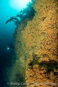 The rare yellow zoanthid anemone Epizoanthus giveni, in large aggregations on the Yellow Wall at Farnsworth Banks, Catalina Island, Epizoanthus giveni
