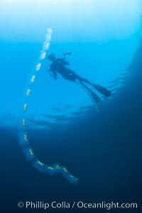 Diver along chain of pelagic zooplankton, open ocean, underwater, Cyclosalpa affinis, San Diego, California