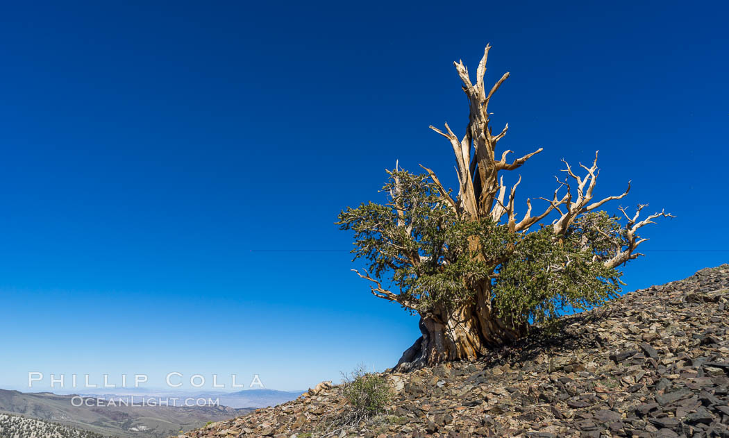 Ancient Bristlecone Pine Forest, White Mountains, Inyo National Forest, California, USA, Pinus longaeva, natural history stock photograph, photo id 29313