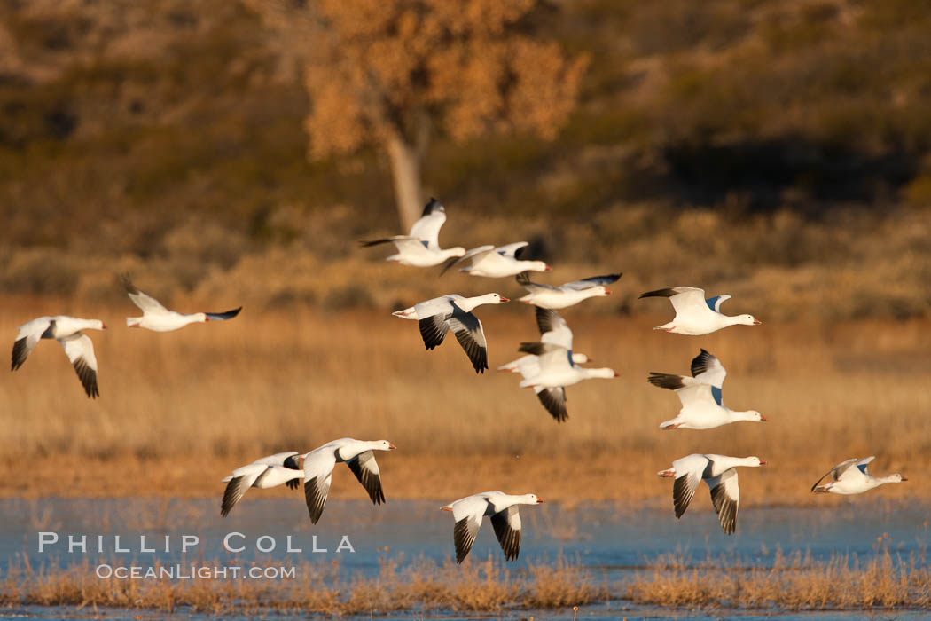 A flock of snow geese in flight. Bosque Del Apache, Socorro, New Mexico, USA, Chen caerulescens, natural history stock photograph, photo id 26234