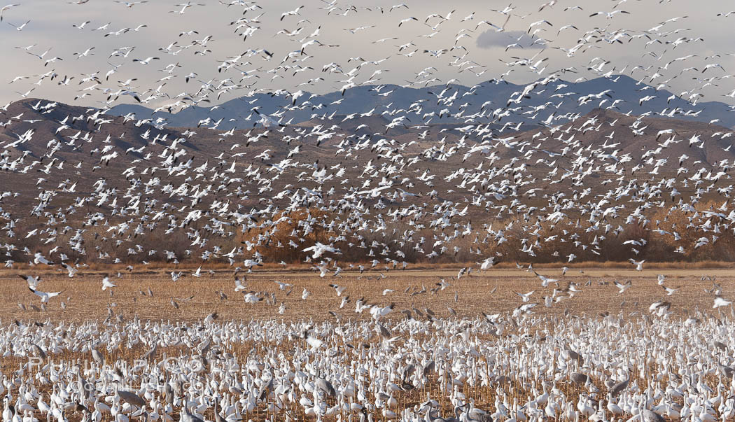 A flock of snow geese in flight. Bosque Del Apache, Socorro, New Mexico, USA, Chen caerulescens, natural history stock photograph, photo id 26240