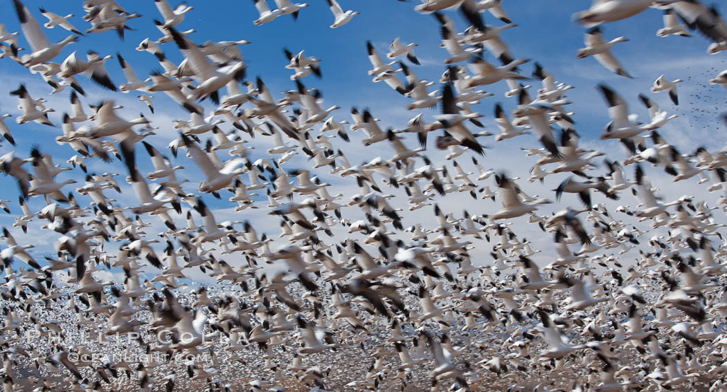 A flock of snow geese in flight. Bosque Del Apache, Socorro, New Mexico, USA, Chen caerulescens, natural history stock photograph, photo id 26253